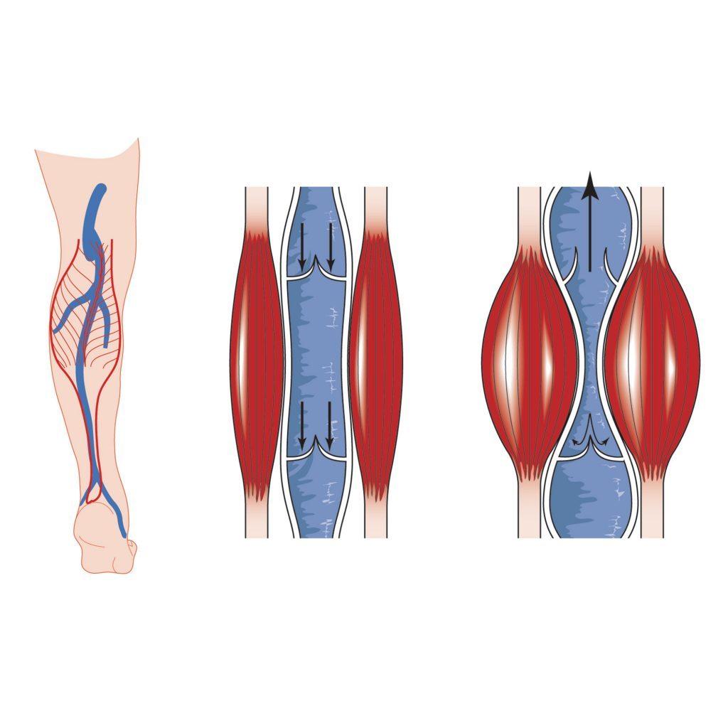 Calf muscle pump